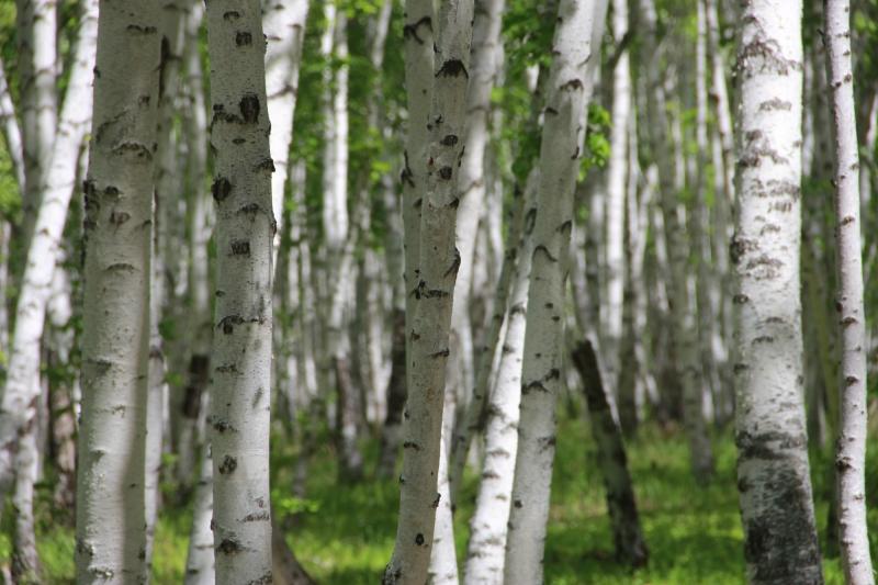 天然白桦林