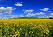 鲜花怒放的盛夏-奔向呼伦贝尔看油菜花