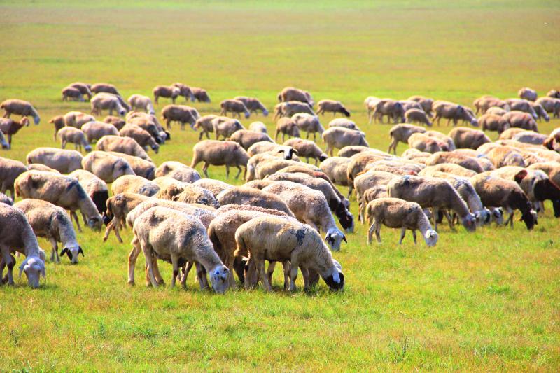 草原羊群1