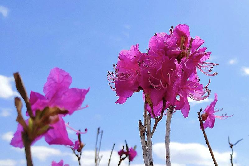 扎兰屯杜鹃花节时间,扎兰屯杜鹃花节赏花最佳地点