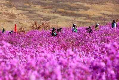 扎兰屯市今年杜鹃花期观赏区禁止一切聚集赏花