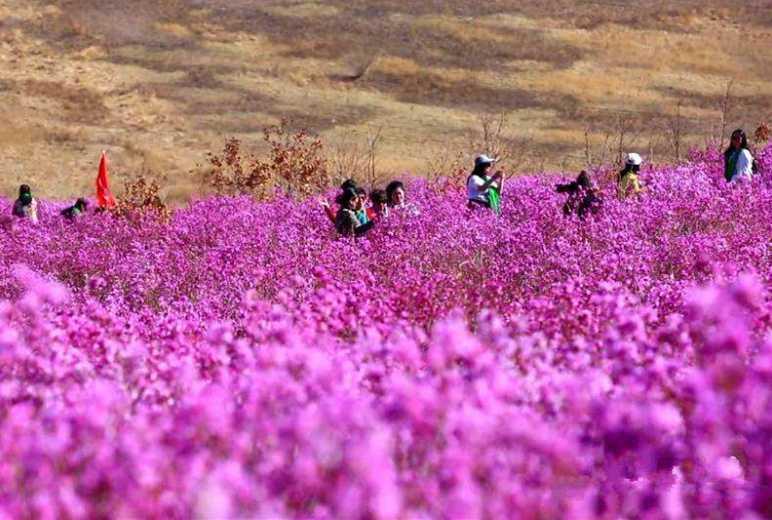五一小长假,扎兰屯兴安杜鹃花节赏花2日游户外活动