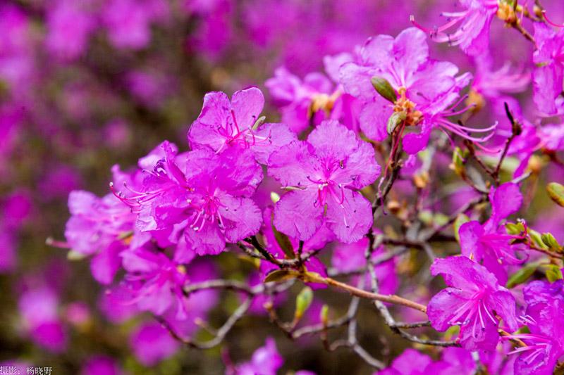 阿尔山杜鹃花节时间,阿尔山杜鹃花什么时间盛开?