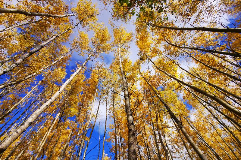 秋季白桦林 (2)