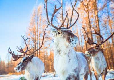 林深时见鹿,梦醒时见敖鲁古雅使鹿部落